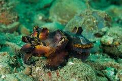 Flamboyant inktvissen in Ambon, Maluku, de onderwaterfoto van Indonesië Stock Foto
