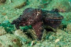 Flamboyant inktvissen in Ambon, Maluku, de onderwaterfoto van Indonesië Royalty-vrije Stock Foto's