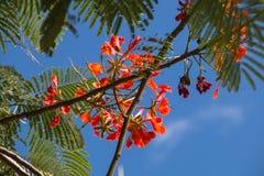 Flamboyant Nassau de Bahamas Stock Foto