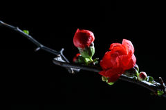 Flamboyant red flower. The ChaenOmeles japonica is bloomming, the flamboyant red show the ardor and livingness Stock Photo