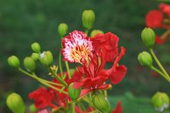 Flamboyant Royal Poinciana Delonix Regia tree Stock Images
