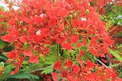 Flamboyant Royal Poinciana Delonix Regia tree Stock Photo