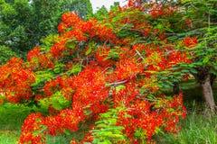 Flamboyant Royal Poinciana Delonix Regia tree Stock Image