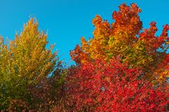 Flamboyant shades of orange of foliage at fall stock photos