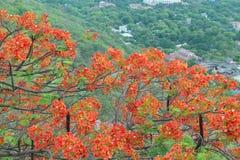 Flamboyant träd med röd blom Arkivfoton
