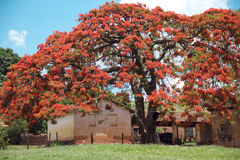 Flamboyant tree. With red flowers Royalty Free Stock Image