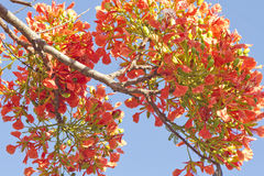 Flamboyant tree Royalty Free Stock Image