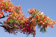 Flamboyant tree Stock Images
