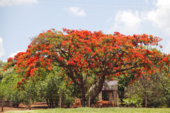 Flamboyant tree. With red flowers in blue sky background Stock Photography