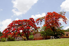 Flamboyant tree. With red flowers in Brazilian farm Stock Photo