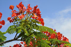 Flamboyant tree blooming. Closeup of Flamboyant or Royal Poinciana (Delonix regia) in blooming at tenerife in Canary Islands Royalty Free Stock Photography