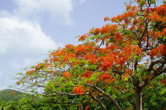 Flamboyant Tree Royalty Free Stock Photo