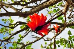 Flamboyant tree Stock Photo