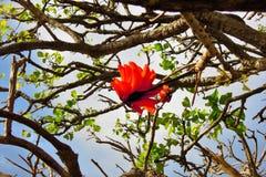 Flamboyant tree Stock Photos