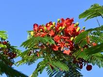Flamboyant tree Royalty Free Stock Photo