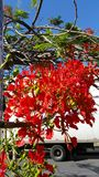 Flamboyant Tree Royalty Free Stock Images