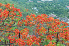 Flamboyant tree with red bloom Stock Photos