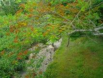 Flamboyant Tree Royalty Free Stock Photos