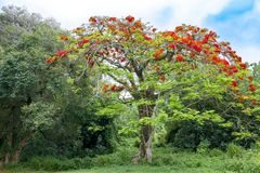 Flamboyant tree, royal poinciana, or flame tree royalty free stock photo