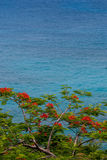 Flamboyant Tree in St. John. Orange blossoms of a flamboyant tree contrast against the blue waters of the Caribbean royalty free stock photos