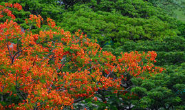 Flamboyant trees and flowers phoenix Royalty Free Stock Photos
