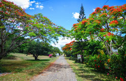 Flamboyant trees and flowers in summer Stock Photo