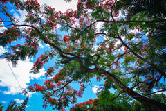Flamboyant trees and flowers in summer Royalty Free Stock Photos