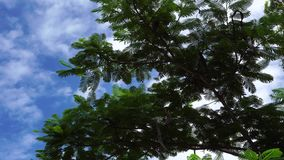 Flamboyant trees. At the park in Saigon, Vietnam stock video