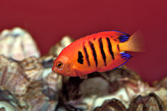 The Flame Angel Fish. A popular but expensive aquarium fish Royalty Free Stock Image
