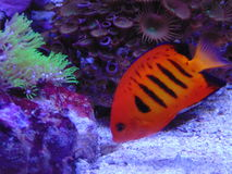 Flame angel fish loriculus Stock Images