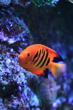 Flame angelfish. The flame angelfish in water stock image
