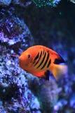 Flame angelfish Stock Image