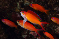 Flame Anthias. Show fin for mating . Pulau Weh , Indonesia stock image
