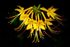 Flame Azalea Stock Images
