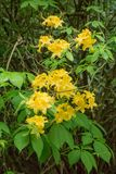 Vertical group of Yellow Flame Azalea Flowers – Rhododendron calendulaceum Stock Images