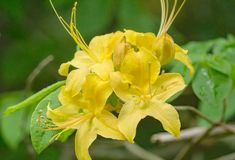 Close-up View of a group of Yellow Flame Azalea Flowers – Rhododendron calendulaceum Stock Image
