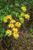 Group of Yellow Flame Azalea Flowers – Rhododendron calendulaceum Royalty Free Stock Photography