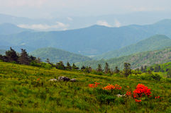 Flame Azalea bloom on top of Roan Mountain. Royalty Free Stock Photos