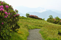 Flame Azalea bloom on top of Roan Mountain. Stock Images