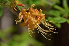 Flame azalea Royalty Free Stock Photography