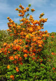 Flame Azalea Bush - Rhododendron calendulaceum Royalty Free Stock Photos