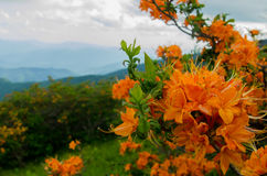 Flame Azalea Close Up. A close up shot of bright orange flame azalea in the Roan Mountain Highlands royalty free stock image