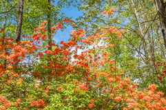 Flame azalea. Royalty Free Stock Photo