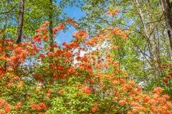 Flame azalea. Royalty Free Stock Photo