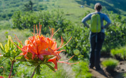 Flame Azalea with Hiker in Background. Orange petals on a flame azalea bloom on Roan Mountain in front of a female hiker stock photography