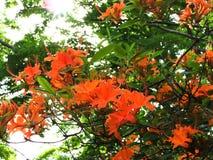 Flame Azalea native shrub shines in sunlight in Massachusetts Stock Images