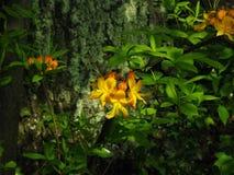 Flame Azalea - Rhododendron calendulaceum Royalty Free Stock Image