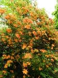 Flame Azalea Rhododendron native shrub in Massachusetts stock image
