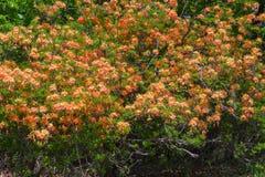 Flame Azalea Shrub- Rhododendron calendulaceum Royalty Free Stock Images