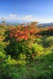 Flame Azaleas Appalachian Trail Roan Mountain TN NC Royalty Free Stock Image